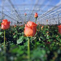 Вирощування квітів в Обухові — Сад і город